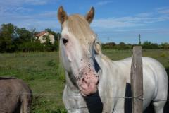 Le cheval de camargue  vit traditionnellement en liberté