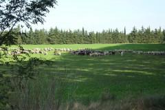 Un élevage de moutons pas très loin du château de Teillan