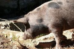 Cochon au col de Larone