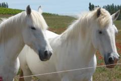 Le Camargue est une race de petits chevaux de selle rustiques à la robe grise